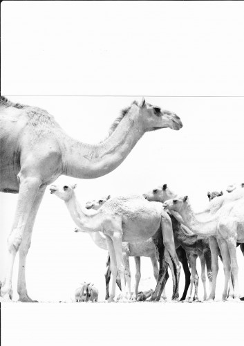 Zouzal Mauritanie.jpg